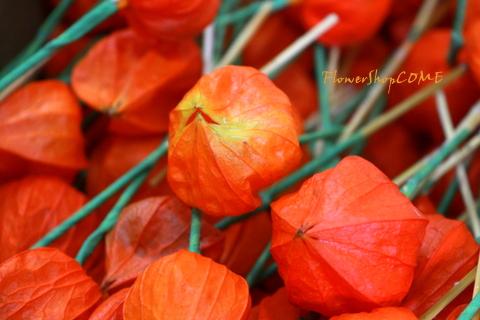 お盆の花 ホオズキ
