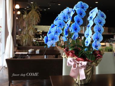 ブルーエレガンス~青い胡蝶蘭~敬老の日用のプレゼントにおすすめ