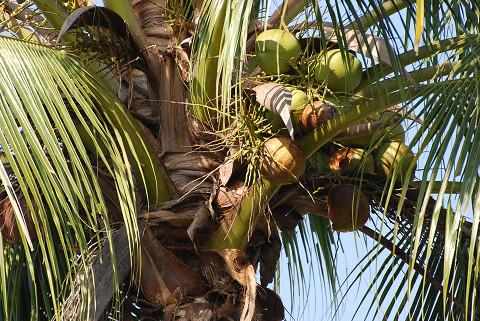 ココナッツの実