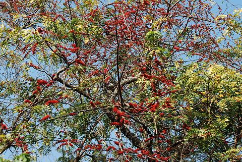 赤い実の大木が