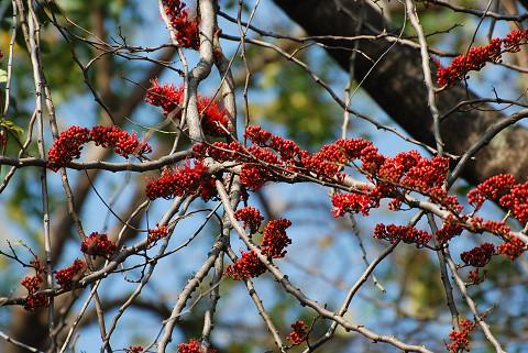 赤い実の大木2