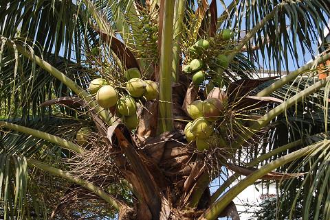 街路樹にココナッツヤシ