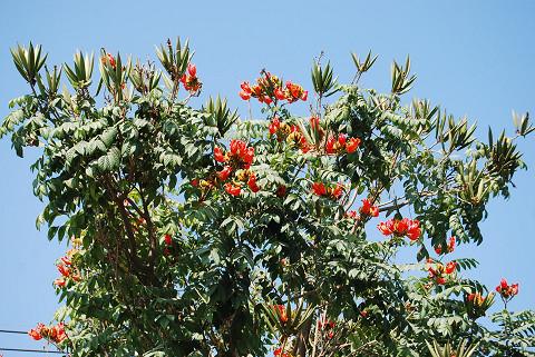 赤い花の樹木が