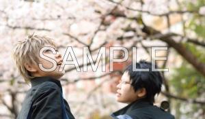 サンプル桜