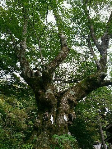 大きくリサイズした科の木