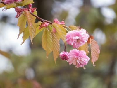 釧路八重桜-0417