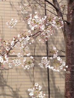 桜130327