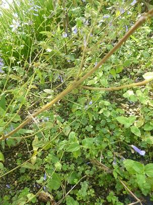 ラブドシア ロンギチューバ1
