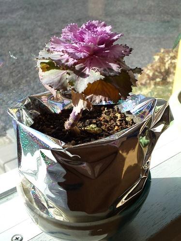 葉牡丹 (4)