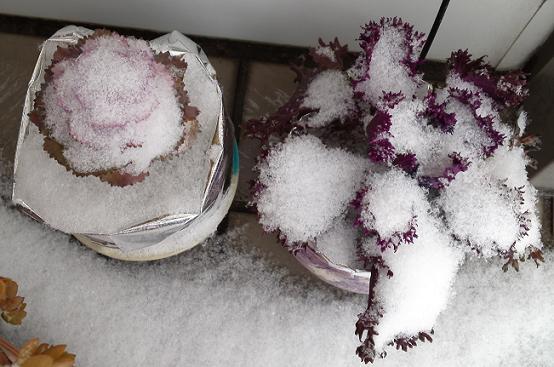 葉ボタン雪かぶり