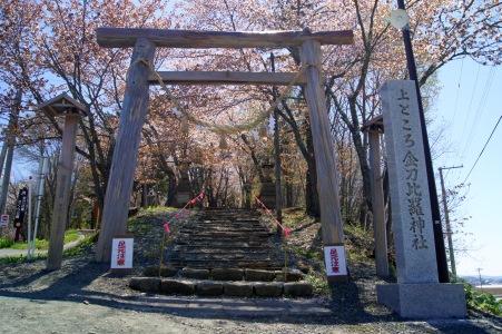 北見の桜1