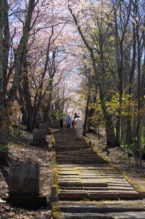 北見の桜2