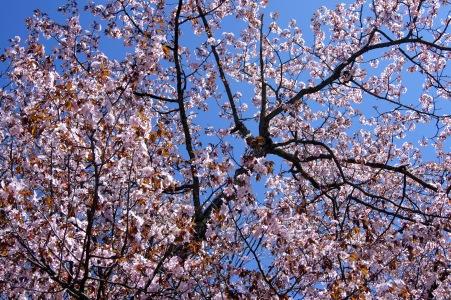 北見の桜3