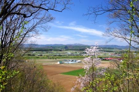 北見の桜4