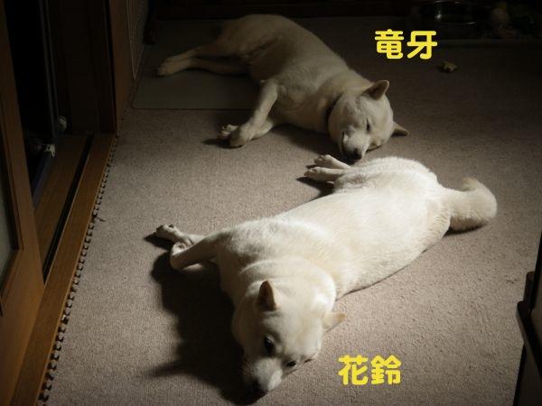 2013.10.28 花鈴竜牙