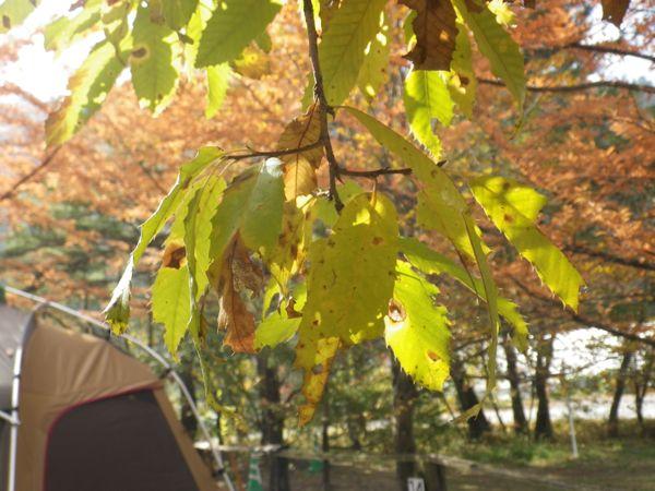 2013.11.3 ドングリの木(クヌギ)