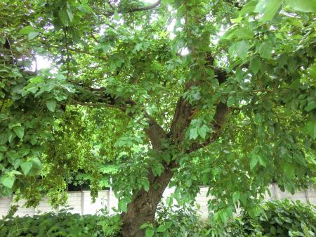 巨大な桑の木