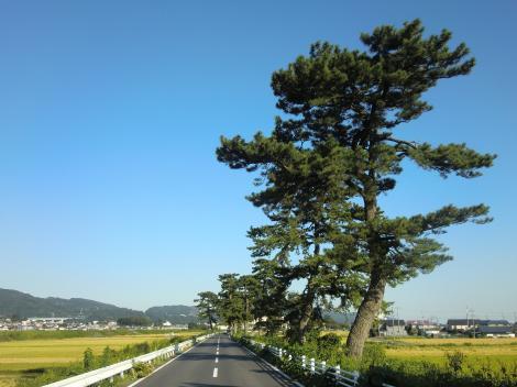 酒匂川右岸松並木・開成町金井島