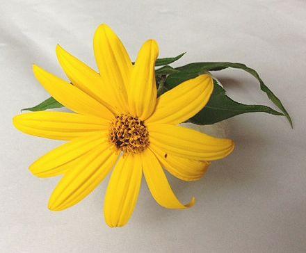 我が家の菊芋の花