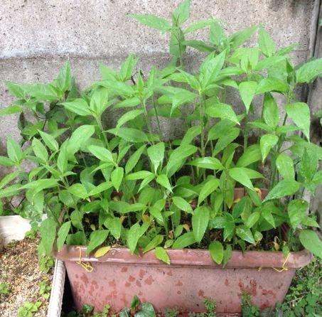 我が家の菊芋成長