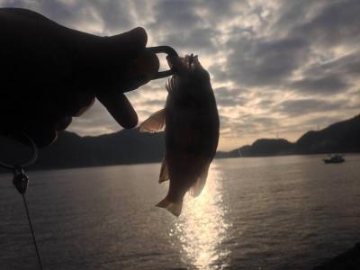 20140124_三角の地磯で釣れたチビメバル