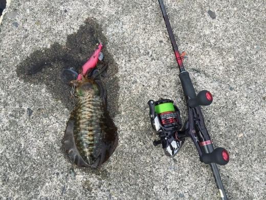 20141011006_シャローで釣れたアオリイカ