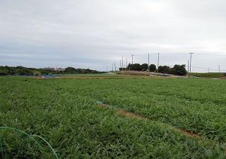 三浦半島のスイカ畑2