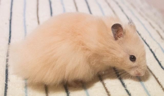 ゴールデンハムスターの毛色・毛質パターン