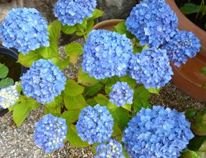 本行寺紫陽花blog01