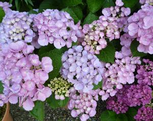 本行寺紫陽花blog02