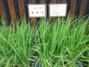 稲blog01