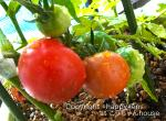 tomato_20130629202625.jpg