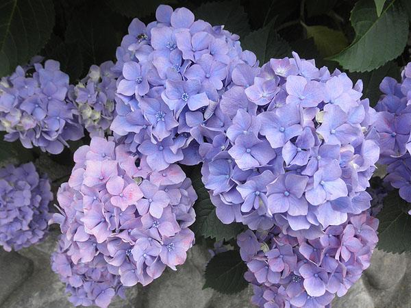 20130607紫陽花②