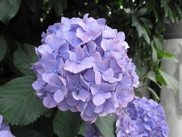20130607紫陽花①