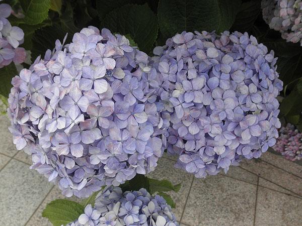 20130618紫陽花②