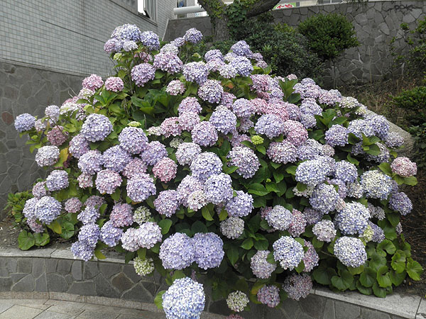 20130618紫陽花①