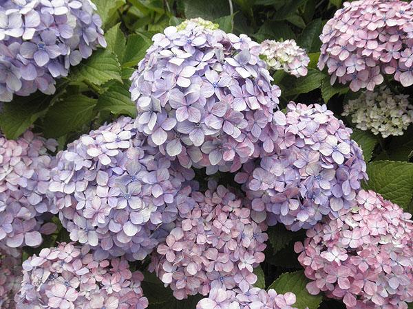 20130618紫陽花③