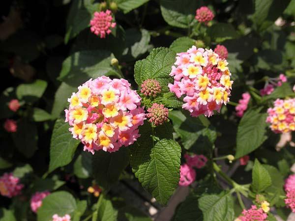 20130723ランタナ花