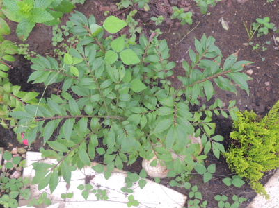 1ニシキギ2013緑