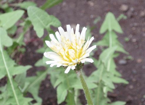 シロバナタンポポ1