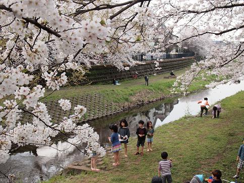 野川の桜(3)