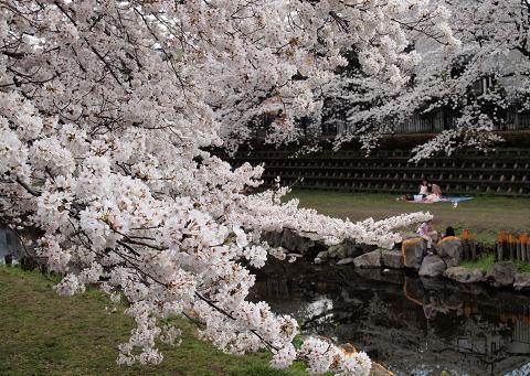 野川の桜(2)