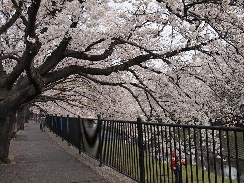 野川の桜(1)
