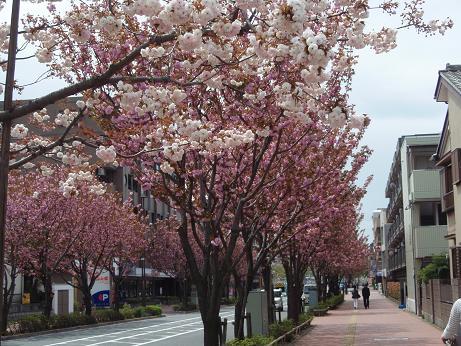 飛田給の桜3