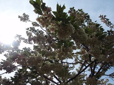 飛田給の桜2