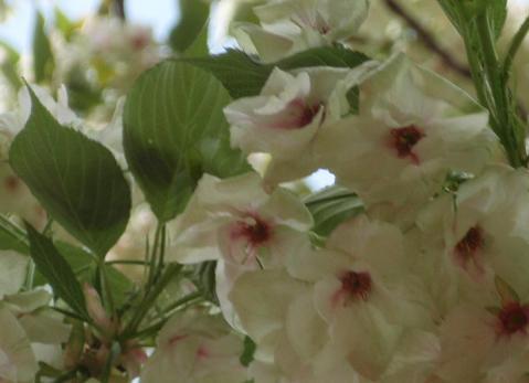 飛田給の桜1