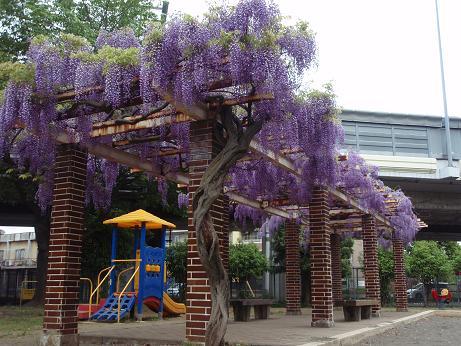 公園の藤の花3