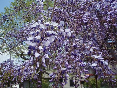 公園の藤の花2