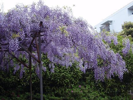 公園の藤の花1