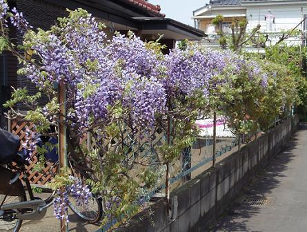 武蔵野台の藤